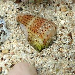 Conus abbreviatus image