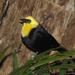 Yellow-hooded Blackbird - Photo (c) Trisha Shears, some rights reserved (CC BY-SA)