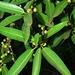 Ficus salicifolia - Photo (c) Linda Loffler, μερικά δικαιώματα διατηρούνται (CC BY-NC)