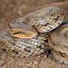 Oocatochus rufodorsatus - Photo (c) Kim, Hyun-tae, algunos derechos reservados (CC BY)