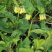 Tuberous Comfrey - Photo (c) HermannFalkner/sokol, some rights reserved (CC BY-NC-SA)