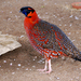 Satyr Tragopan - Photo (c) Jezzebelle, some rights reserved (CC BY-NC-ND)
