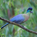Purple-crested Turaco - Photo (c) sander1, some rights reserved (CC BY-NC)