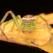 Diaea dorsata - Photo Ningún derecho reservado