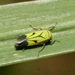 Green Rice Leafhopper - Photo (c) Jaycee Snow, some rights reserved (CC BY-NC-SA)