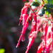 Ribes speciosum - Photo (c) BJ Stacey, algunos derechos reservados (CC BY-NC)