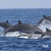 Delfín de Fraser - Photo (c) Colin Trainor, algunos derechos reservados (CC BY-NC)