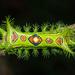 Slug Caterpillar Moths - Photo (c) Vijay Anand Ismavel, some rights reserved (CC BY-NC-SA), uploaded by Dr. Vijay Anand Ismavel MS MCh