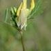 Vicia lutea - Photo (c) Radio Tonreg, μερικά δικαιώματα διατηρούνται (CC BY)