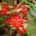 Rubus buergeri - Photo (c) Mizuki Shimoda,  זכויות יוצרים חלקיות (CC BY-NC)