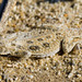 Flat-tailed Horned Lizard - Photo (c) BJ Stacey, some rights reserved (CC BY-NC)