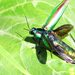 Japanese Jewel Beetle - Photo (c) mish mill, some rights reserved (CC BY-NC)