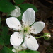 Rubus flagellaris - Photo (c) Anita,  זכויות יוצרים חלקיות (CC BY-NC)