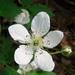 Rubus flagellaris - Photo (c) Anita, algunos derechos reservados (CC BY-NC)