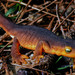 California Newt - Photo (c) Larry Miller, some rights reserved (CC BY-NC)