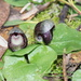 Slaty Helmet-Orchid - Photo (c) Reiner Richter, some rights reserved (CC BY-NC-SA)