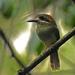 Momoto Enano - Photo (c) angel_castillo_birdingtours, algunos derechos reservados (CC BY-NC)