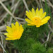 Spring Adonis - Photo (c) Gernot Hochmueller, some rights reserved (CC BY)