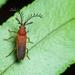 Eugeusis palpator - Photo (c) Roman Prokhorov, μερικά δικαιώματα διατηρούνται (CC BY-NC)