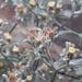 Helichrysum litorale - Photo (c) Sally Adam, algunos derechos reservados (CC BY-NC)
