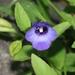 Torenia asiatica - Photo (c) James Bailey, algunos derechos reservados (CC BY-NC)
