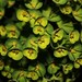 Wood Spurge - Photo (c) Rosemary Bannon Tyksinski, some rights reserved (CC BY)