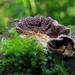 Brown Purplepore Bracket - Photo (c) Lola Smirnova, some rights reserved (CC BY-NC)