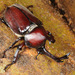Japanese Rhinoceros Beetle - Photo (c) Kim, Hyun-tae, some rights reserved (CC BY)
