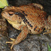 Asiatic Toad - Photo (c) Kim, Hyun-tae, some rights reserved (CC BY)