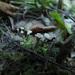 Craterellus undulatus - Photo (c) Иван Матершев, algunos derechos reservados (CC BY-NC-SA)