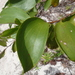 Acacia simplex - Photo (c) Leon Perrie, osa oikeuksista pidätetään (CC BY-NC)