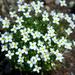 Houstonia caerulea - Photo (c) James Ellison,  זכויות יוצרים חלקיות (CC BY)