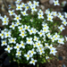 Houstonia caerulea - Photo (c) James Ellison,  זכויות יוצרים חלקיות (CC BY)