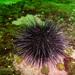 Tetrapygus niger - Photo (c) Erasmo Macaya, algunos derechos reservados (CC BY-NC)
