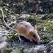 Ratón Saltador de Pantano - Photo (c) Zac Cota, algunos derechos reservados (CC BY-NC)