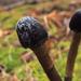 Tolypocladium - Photo (c) Rob Curtis, algunos derechos reservados (CC BY-NC-SA)