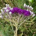 Vernonia capensis - Photo (c) mickyorrey, algunos derechos reservados (CC BY-NC)