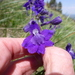 Larkspurs - Photo (c) je9h, some rights reserved (CC BY-NC)