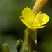Small Sundrops - Photo (c) Frank Mayfield, some rights reserved (CC BY-SA)