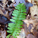 Polystichum acrostichoides - Photo (c) Ken-ichi Ueda, algunos derechos reservados (CC BY)