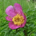 Anomalous Peony - Photo (c) Konstantin Samodurov, some rights reserved (CC BY-NC)
