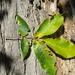 Jicoria Ovada - Photo (c) Bob Gutowski, algunos derechos reservados (CC BY-NC-SA)