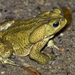 Yellow Cururu Toad - Photo (c) rondon, some rights reserved (CC BY-NC)