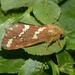 Phymatopus hecta - Photo (c) Pascal Dubois, μερικά δικαιώματα διατηρούνται (CC BY-NC)
