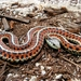 Thamnophis elegans terrestris - Photo (c) Steve Jurvetson, μερικά δικαιώματα διατηρούνται (CC BY)