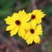 Coreopsis linifolia - Photo (c) Lauren,  זכויות יוצרים חלקיות (CC BY)