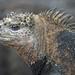 Θαλάσσιο Ιγκουάνα - Photo (c) Josh Vandermeulen, μερικά δικαιώματα διατηρούνται (CC BY-NC-ND)