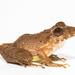 Craugastorinae - Photo (c) Brian Gratwicke, algunos derechos reservados (CC BY)