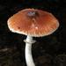 Leucoagaricus rubrotinctus - Photo (c) Anonyymi, osa oikeuksista pidätetään (CC BY-SA)