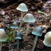 Mycena subcaerulea - Photo (c) anónimo, algunos derechos reservados (CC BY-SA)